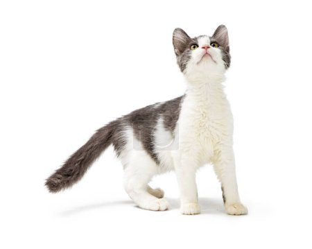 Cute young grey and white kitten looking up with curious and playful expression and standing on white background