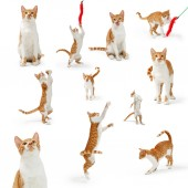 Collection of eleven cute young orange and white tabby cat in playful positions