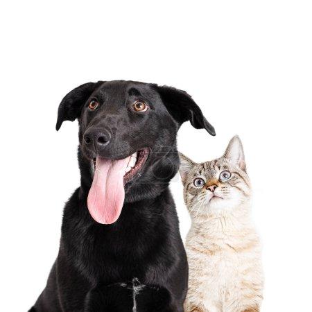 Photo pour Gros plan de chien de laboratoire noir excité et chat blanc ensemble regardant vers le haut - image libre de droit