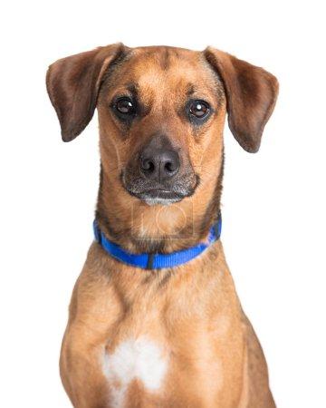 Photo pour Portrait rapproché d'un chien de race mixte brun mignon de taille moyenne et tourné vers l'avenir - image libre de droit