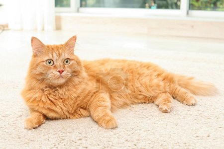 Adorable red cat lying on carpet indoors