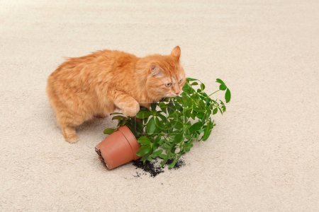 Adorable red cat and overturned houseplant on carpet indoors