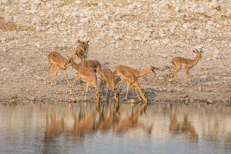 Photo pour Un troupeau d'Impalas buvant dans un abreuvoir de la savane namibienne - image libre de droit