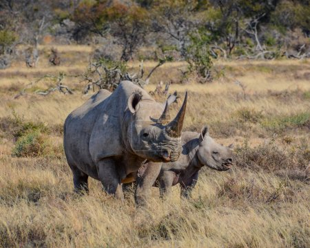 A Black Rhinoceros mother and six month old calf i...