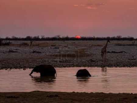 Photo pour Éléphants dans un abreuvoir au coucher du soleil - image libre de droit