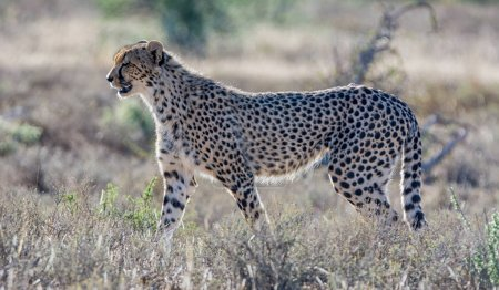 A juvenile Cheetah in Southern African savanna