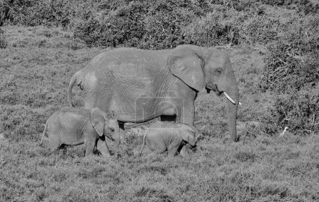 A mother and two Elephant calves walking in Southern African savanna