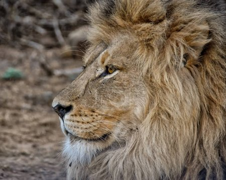 Portrait of an adult male Lion in Southern Africa