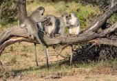 """Постер, картина, фотообои """"Vervet обезьян, груминг друг друга в Южной Африканской Саванны"""""""