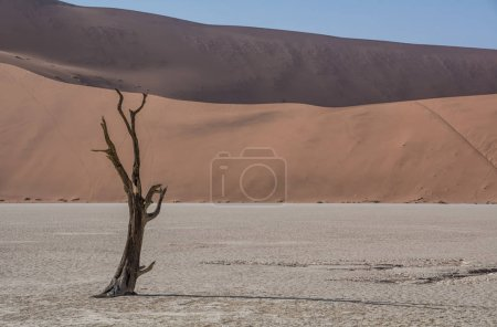 Deadvlei in Namibia characterized by dark, dead camel thorn tree contrasted against white pan ground