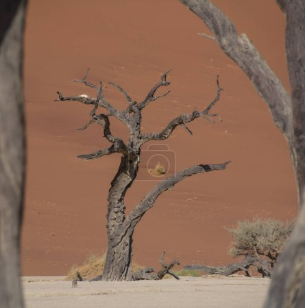 Deadvlei in Namibia characterized by dark, dead camel thorn trees contrasted against white pan ground