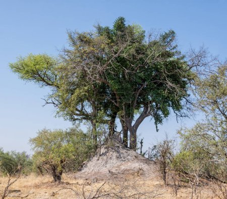 tree growing out of termites mound in Namibian savanna