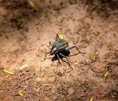 """Постер, картина, фотообои """"Длинноногие чернотелки жук в Южной Африканской Саванны"""""""