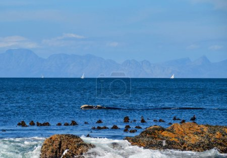 Southern Right Whale swimming in False Bay and white yachts floating on background