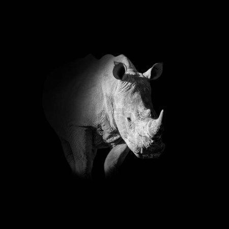 monochrome portrait of White Rhinoceros on black background