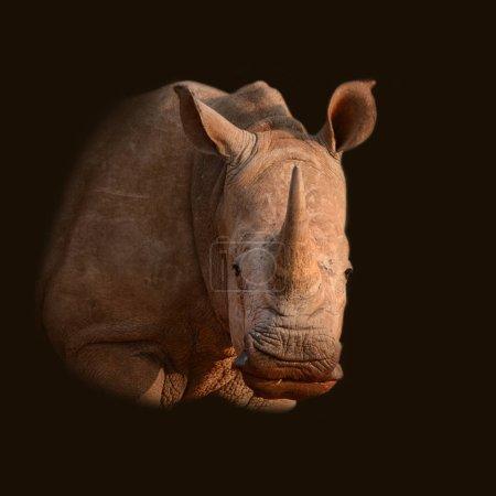 Color portrait of White Rhinoceros on black background