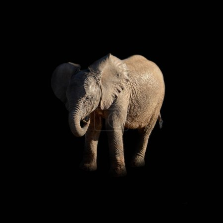 portrait of baby African Elephant on dark background