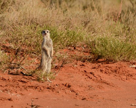 Meerkat standing near ground road in Southern African savanna