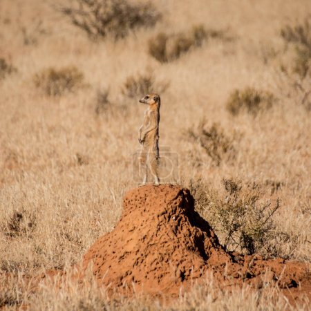 Meerkat standing on termites mound while family foraging in Southern African savanna