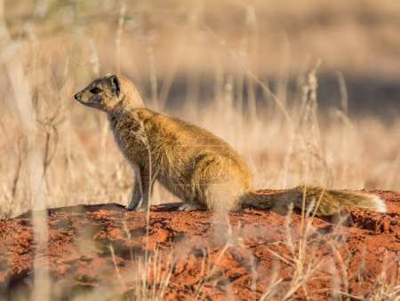 Yellow Mongoose sitting on termite mound in Southern African savanna