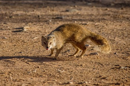 Yellow Mongoose in Southern African savanna