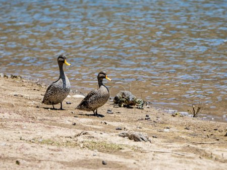 Nile Monitor and Yellow-billed Ducks at watering hole in Southern African savanna