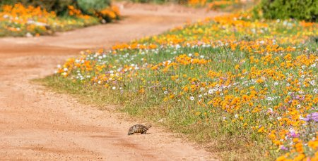 Angulate Tortoise crossing dirty track surrounded by spring flowers in Southern Africa