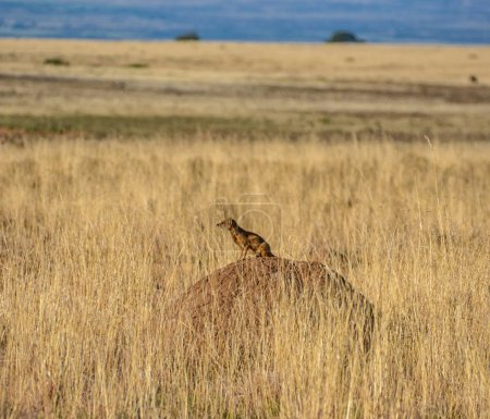 Yellow Mongoose sitting on termites mound on plains background, Southern African savanna
