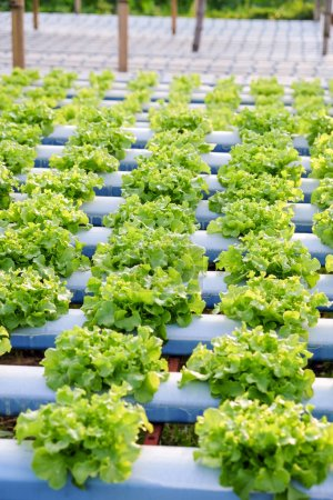 Photo for Image of Hydroponics vegetable farm - Royalty Free Image