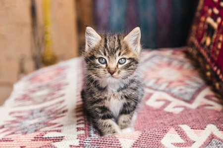 Adorable little tabby kitten looking at camera