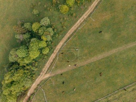Foto de Vista superior de verdes campos con ganado vacuno en la provincia de arezzo, Italia - Imagen libre de derechos