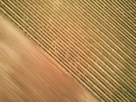 Photo for Aerial view of green vineyard rows, czech republic - Royalty Free Image