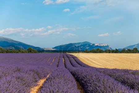 Photo for Rows of beautiful blooming lavender flowers in provence, france - Royalty Free Image