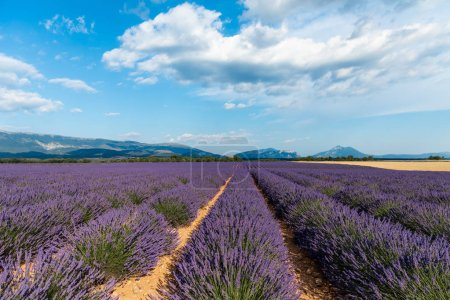 beautiful blooming lavender field and distant mountains in provence, france