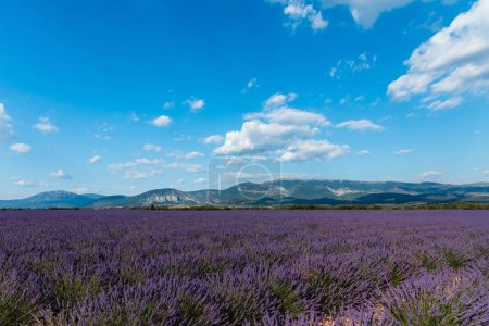 Photo for Beautiful blooming lavender flowers and distant mountains in provence, france - Royalty Free Image