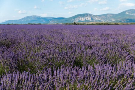 Photo for Beautiful violet lavender flowers in field in provence, france - Royalty Free Image