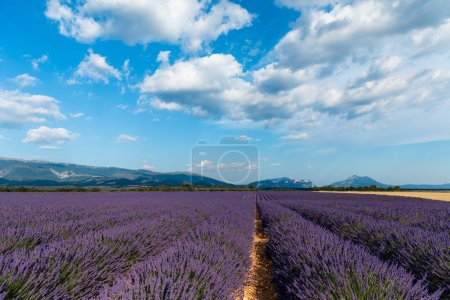 Photo for Picturesque landscape with beautiful lavender field and distant mountains in provence, france - Royalty Free Image