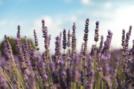Photo for Close-up view of beautiful blooming violet lavender flowers - Royalty Free Image