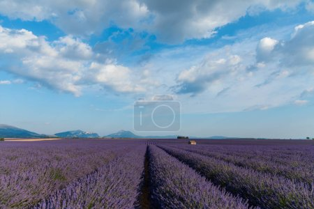 Photo for Tranquil rural scene with blooming lavender field and mountains in provence, france - Royalty Free Image