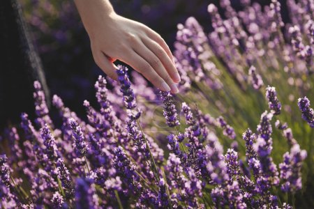 Photo for Close-up partial view of girl touching beautiful purple lavender flowers - Royalty Free Image