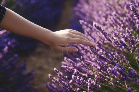 Photo for Cropped shot of woman touching beautiful purple lavender flowers - Royalty Free Image