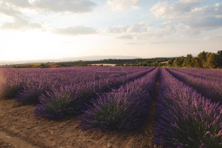 Photo for Blooming purple lavender flowers on cultivated field in provence, france - Royalty Free Image