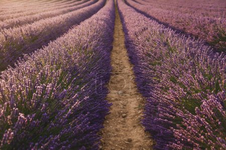 Photo for Beautiful blooming lavender flowers on cultivated field in provence, france - Royalty Free Image