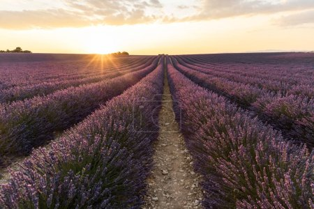 Photo for Rows of beautiful blooming lavender flowers at sunset, provence, france - Royalty Free Image