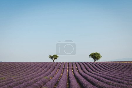 Photo for Two green trees on beautiful purple lavender field in provence, france - Royalty Free Image
