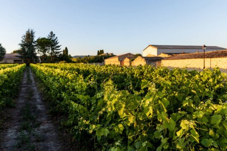 Photo for Rural road and green grapes at farm in provence, france - Royalty Free Image