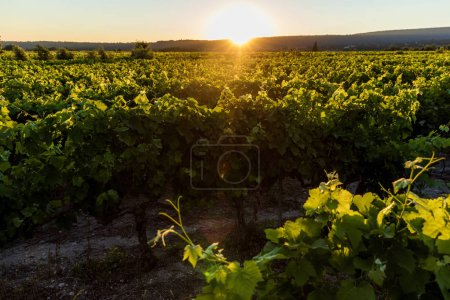 Photo pour Beau vignoble vert au coucher du soleil, provence, france - image libre de droit