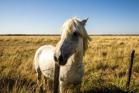 Photo pour Beau cheval blanc debout près de clôture dans les pâturages et en regardant à la caméra, provence, france - image libre de droit