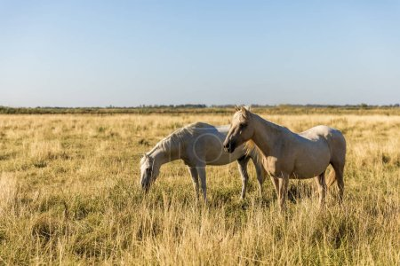 beautiful white horses grazing on pasture, provence, france