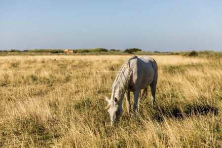 Photo for Beautiful white horse grazing on pasture, provence, france - Royalty Free Image